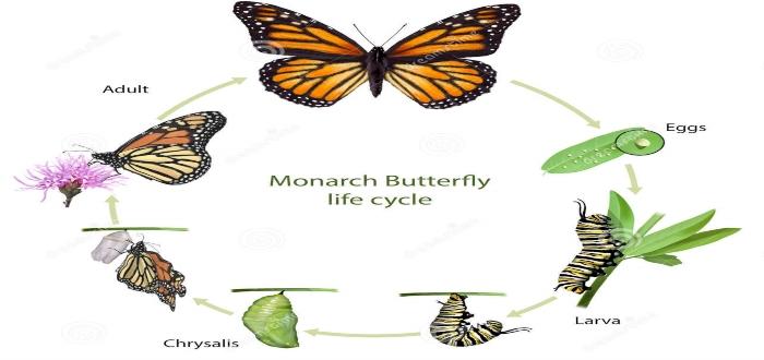 Mapa-mental-circular-ciclo-mariposa